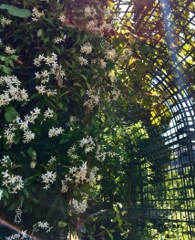 flowering jasmine and arch